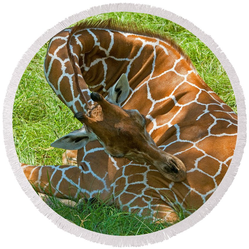 Reticulated Giraffe Round Beach Towel featuring the photograph Reticulated Giraffe Sleeping by Millard H. Sharp