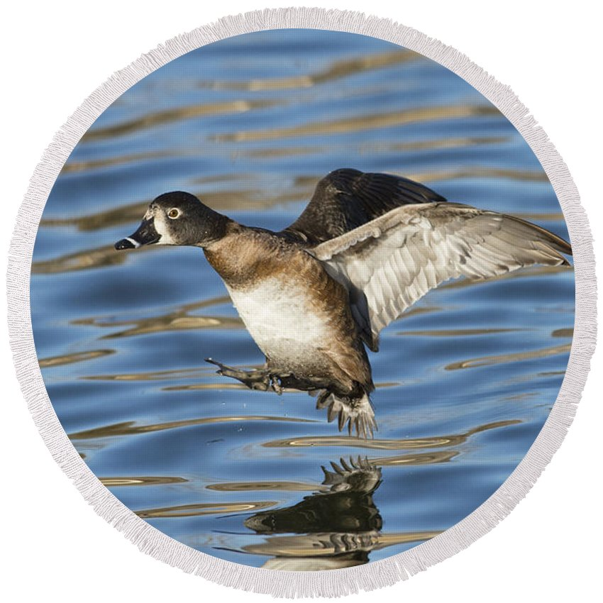 Ring-necked Duck Round Beach Towel featuring the photograph Ring-necked Duck Landing by Anthony Mercieca