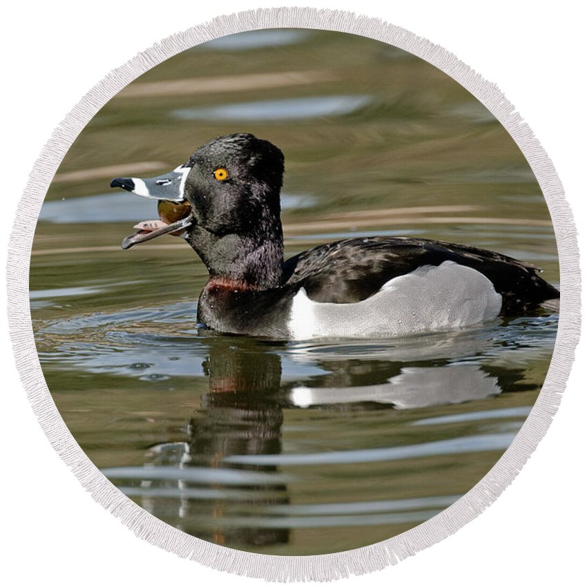 Ring-necked Duck Round Beach Towel featuring the photograph Ring-necked Duck Swallowing Snail by Anthony Mercieca