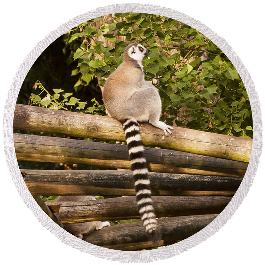 Ring-tailed Lemur Lemurs Animal Animals Fence Fences Creature Creatures Striped Tails Tail Stripes Stripe Louisiana Purchase Gardens And Zoo Monroe Nature Round Beach Towel featuring the photograph Ring-tailed Lemur by Bob Phillips
