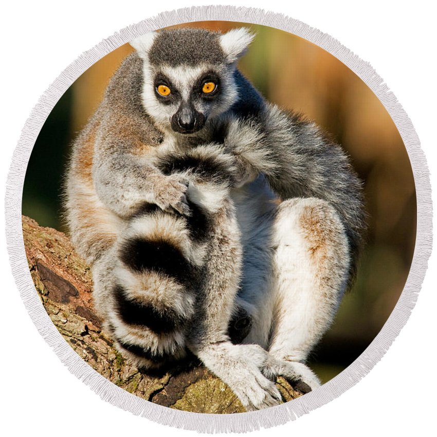 Ring-tailed Lemur Round Beach Towel featuring the photograph Ring Tailed Lemur by Millard H. Sharp