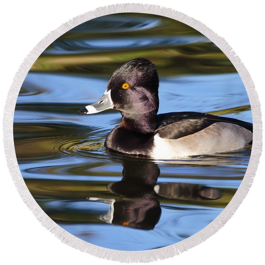 Ring-necked Duck Round Beach Towel featuring the photograph Rings around Ring-necked Duck by Andrew McInnes