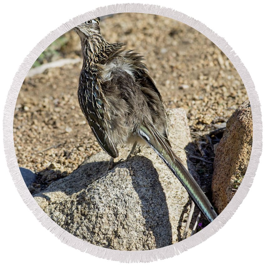 Greater Roadrunner Round Beach Towel featuring the photograph Roadrunner Warming In Sun by Anthony Mercieca