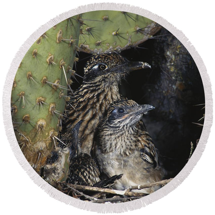Greater Roadrunner Round Beach Towel featuring the photograph Roadrunners In Nest by Anthony Mercieca