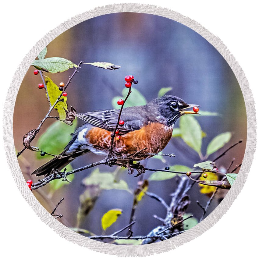 Robin Round Beach Towel featuring the photograph Robin And Berries by Paul Freidlund