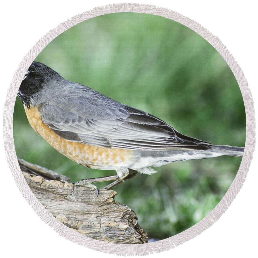 American Robin Round Beach Towel featuring the photograph Robin Eating Mealworm by Millard H. Sharp