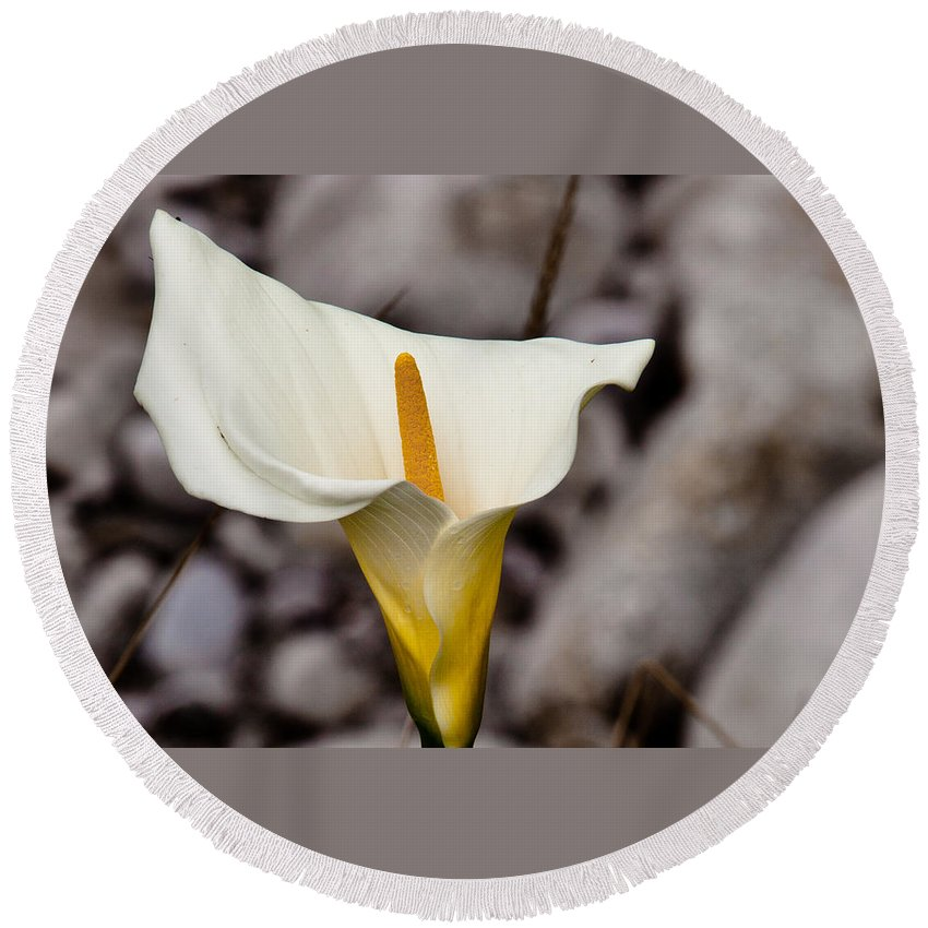 White Flower Round Beach Towel featuring the photograph Rock Calla Lily by Melinda Ledsome