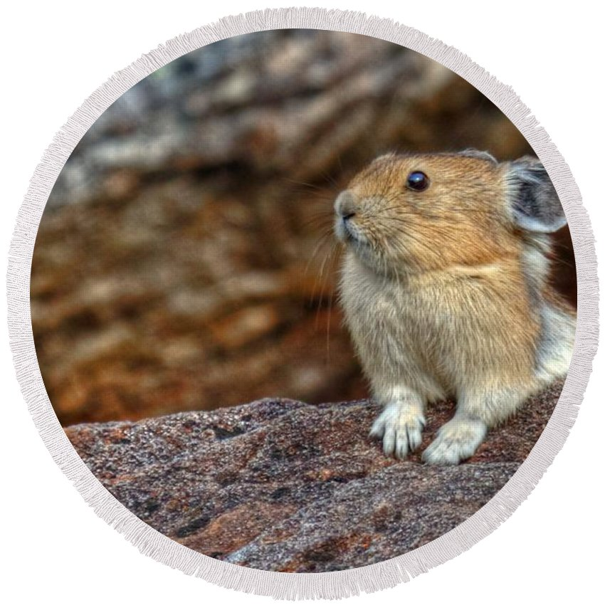 Pika Round Beach Towel featuring the photograph Rock Rabbit by James Anderson