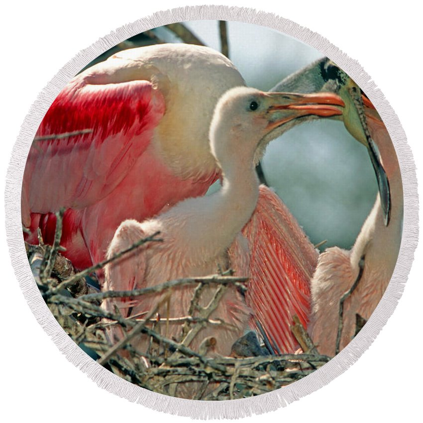 Fauna Round Beach Towel featuring the photograph Roseate Spoonbill Feeding Young At Nest by Millard H. Sharp