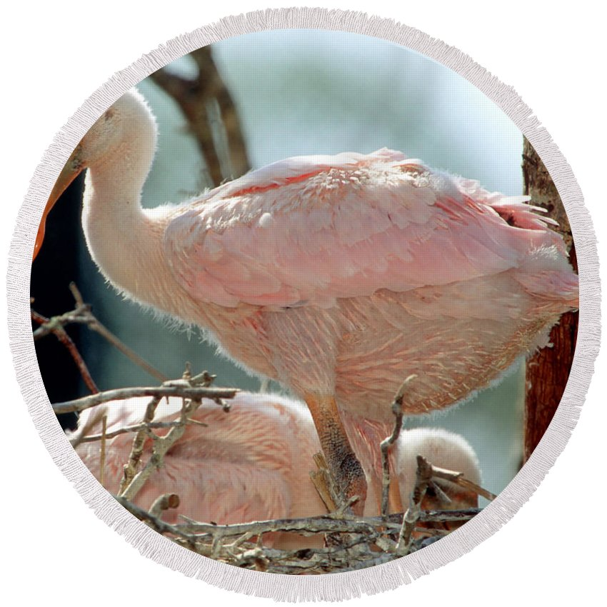 Animal Round Beach Towel featuring the photograph Roseate Spoonbill Nestlings by Millard H. Sharp