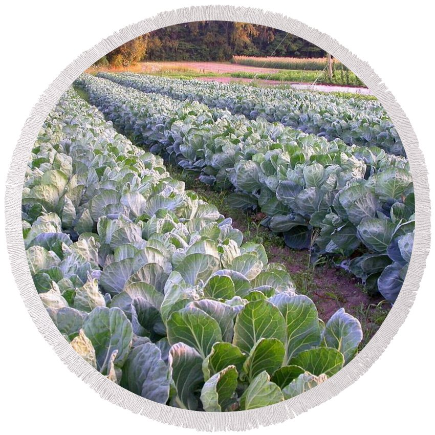 Cabbage Rows Round Beach Towel featuring the photograph Row Two by Cynthia Wallentine