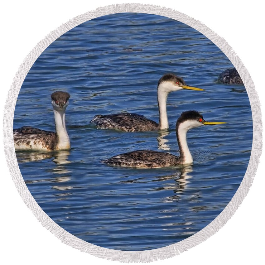 Grebe Round Beach Towel featuring the photograph Royal Entourage by Gary Holmes
