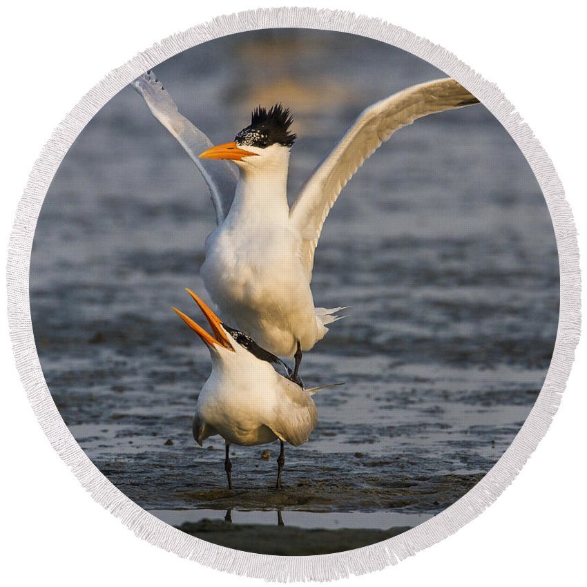 Doug Lloyd Round Beach Towel featuring the photograph Royal Tern by Doug Lloyd
