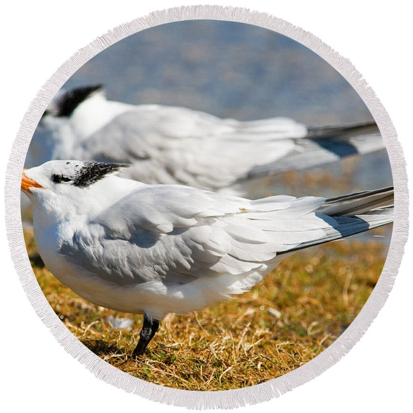 Nature Round Beach Towel featuring the photograph Royal Tern by Millard H. Sharp