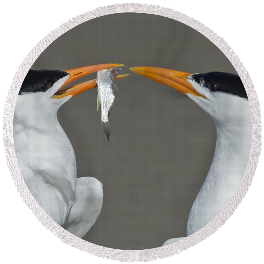Royal Tern Round Beach Towel featuring the photograph Royal Terns by Anthony Mercieca