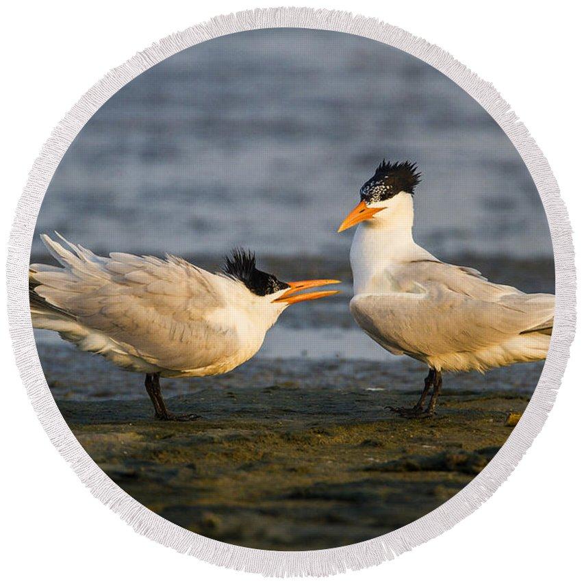 Doug Lloyd Round Beach Towel featuring the photograph Royal Terns by Doug Lloyd