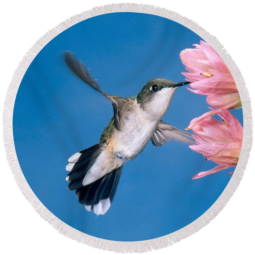 Fauna Round Beach Towel featuring the photograph Ruby-throated Hummingbird by Anthony Mercieca
