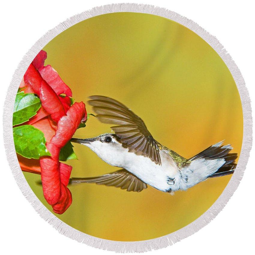 Nature Round Beach Towel featuring the photograph Ruby Throated Hummingbird by Millard H. Sharp