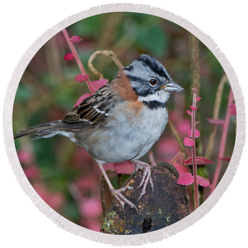 Rufous-collared Sparrow Round Beach Towel featuring the photograph Rufous-collared Sparrow by Anthony Mercieca