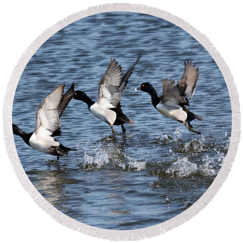 Lesser Scaup Round Beach Towel featuring the photograph Running On Water by Lori Tordsen