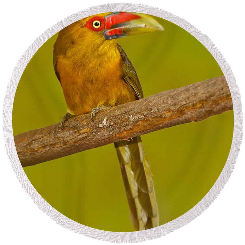 Animal Round Beach Towel featuring the photograph Saffron Toucanet by Anthony Mercieca