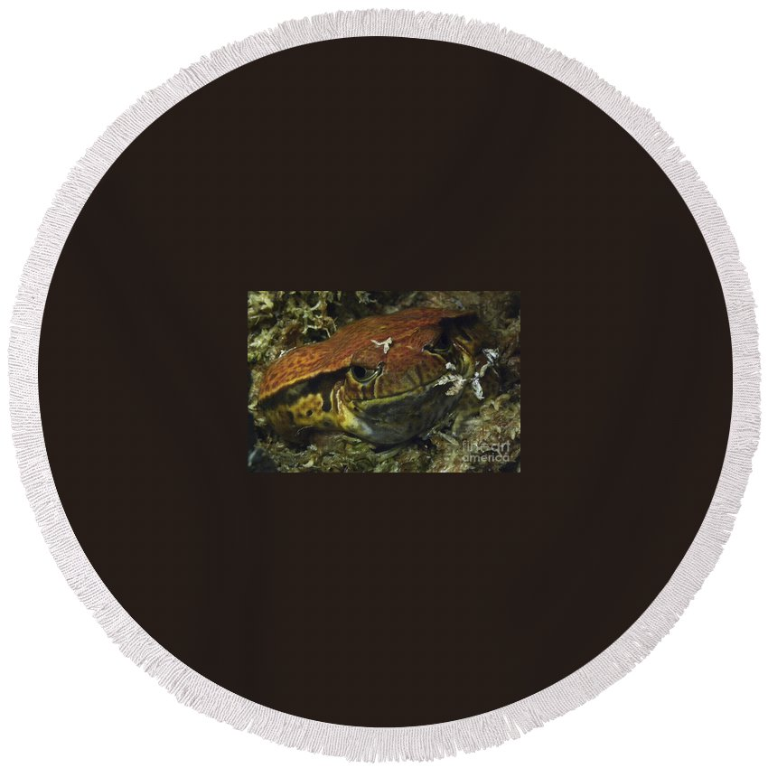 Animal Round Beach Towel featuring the photograph Sambava Tomato Frog by Ron Sanford