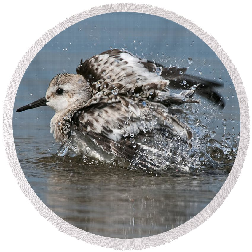 Sanderling Round Beach Towel featuring the photograph Sanderling Pictures 29 by World Wildlife Photography