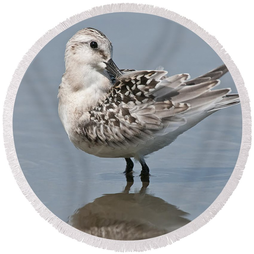 Sanderling Round Beach Towel featuring the photograph Sanderling Pictures 32 by World Wildlife Photography