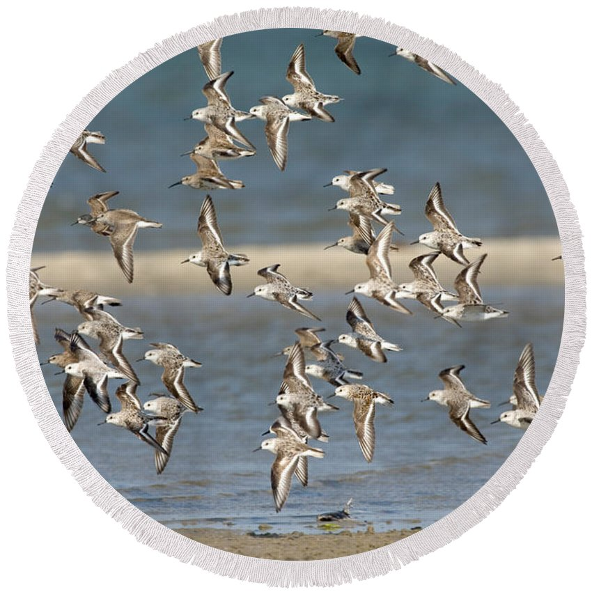 Animal Round Beach Towel featuring the photograph Sanderlings And Dunlins In Flight by Anthony Mercieca