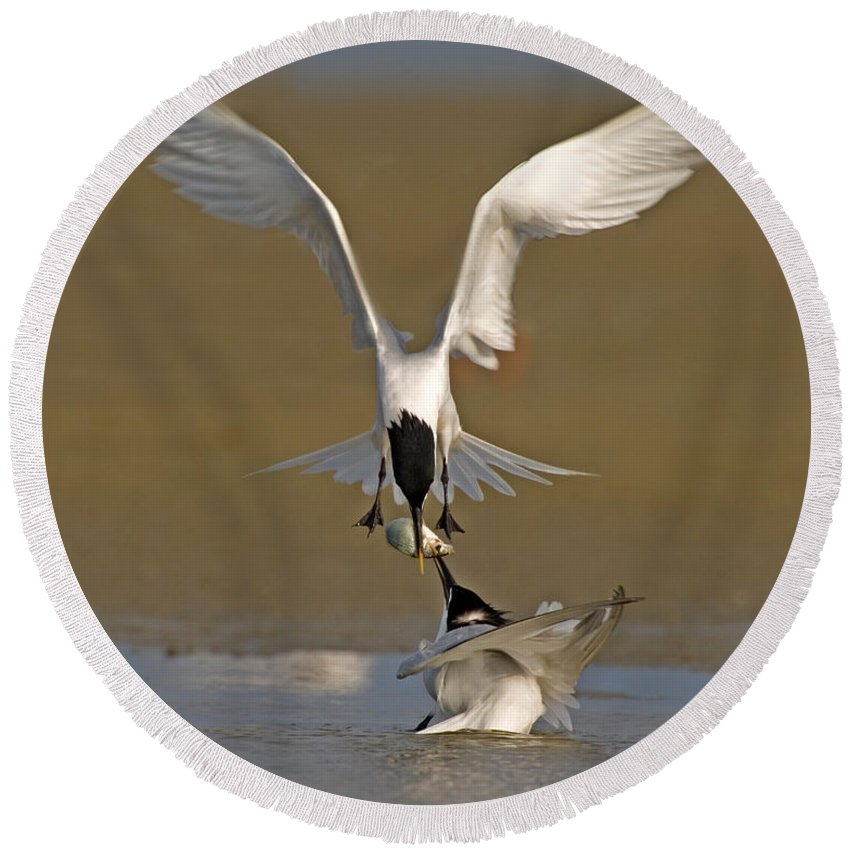 Animal Round Beach Towel featuring the photograph Sandwich Tern Bringing Fish To Its Mate by Anthony Mercieca