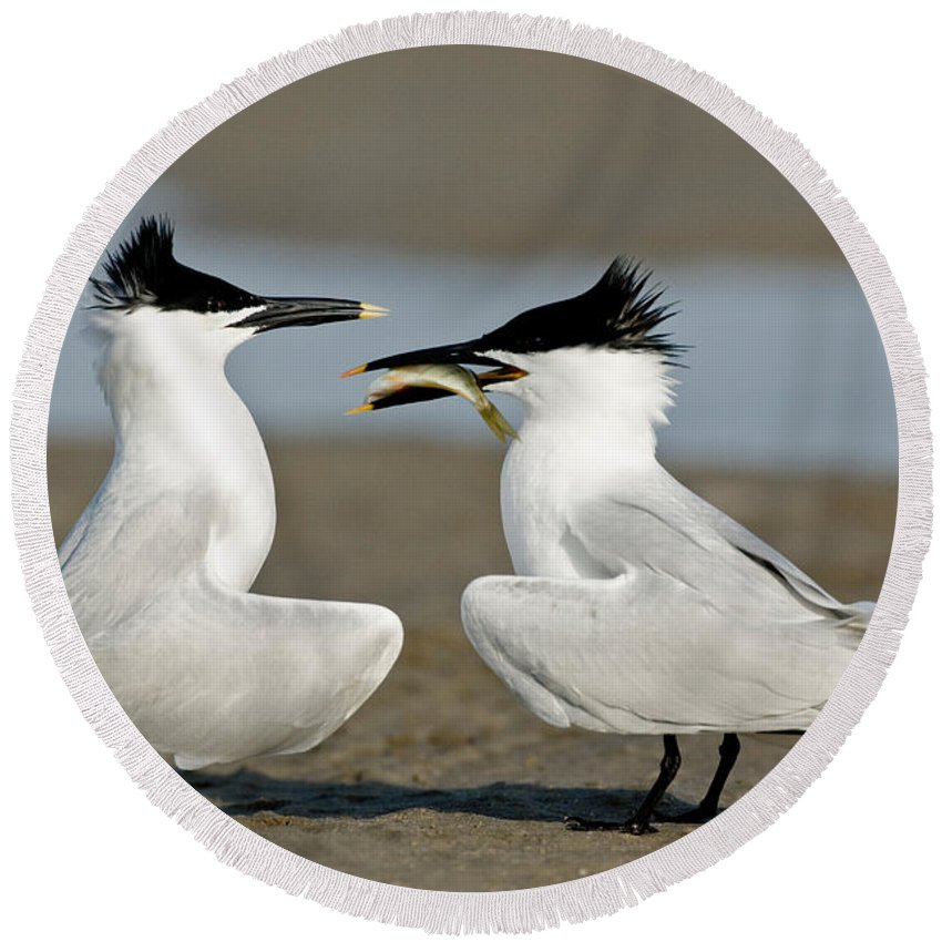 Animal Round Beach Towel featuring the photograph Sandwich Tern Offering Fish by Anthony Mercieca