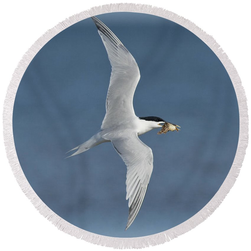Sandwich Tern Round Beach Towel featuring the photograph Sandwich Tern With Fish by Anthony Mercieca