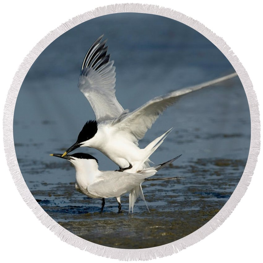Animal Round Beach Towel featuring the photograph Sandwich Terns Mating by Anthony Mercieca