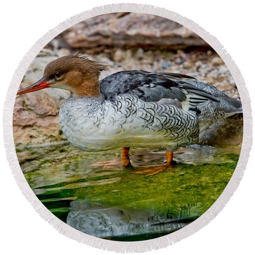 Anatidae Round Beach Towel featuring the photograph Scaly-sided Merganser Hen by Anthony Mercieca