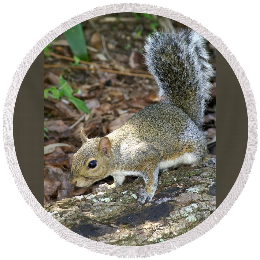 Squirrel Round Beach Towel featuring the photograph Scampering Squirrel by Larry Allan