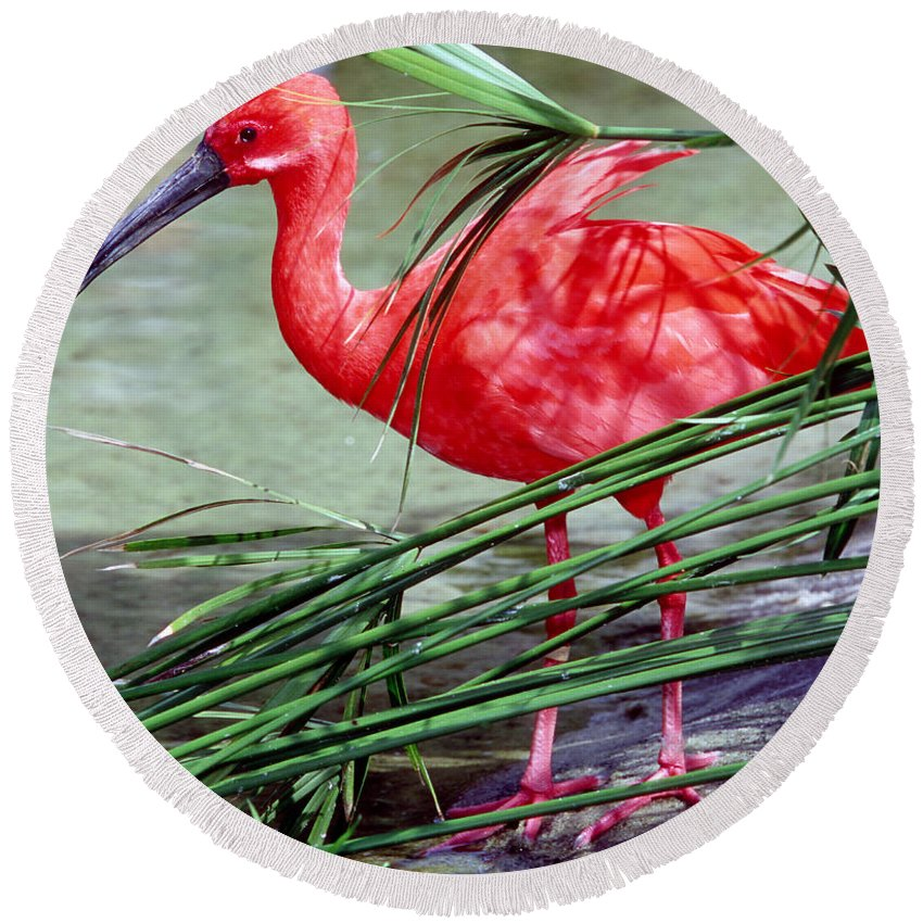 Fauna Round Beach Towel featuring the photograph Scarlet Ibis by Millard H. Sharp
