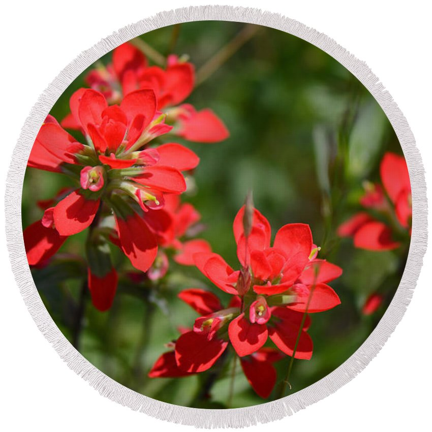 Indian Paintbrush Round Beach Towel featuring the photograph Scarlet Paintbrush. Texas Wildflowers. Castilleja_indivisa by Connie Fox