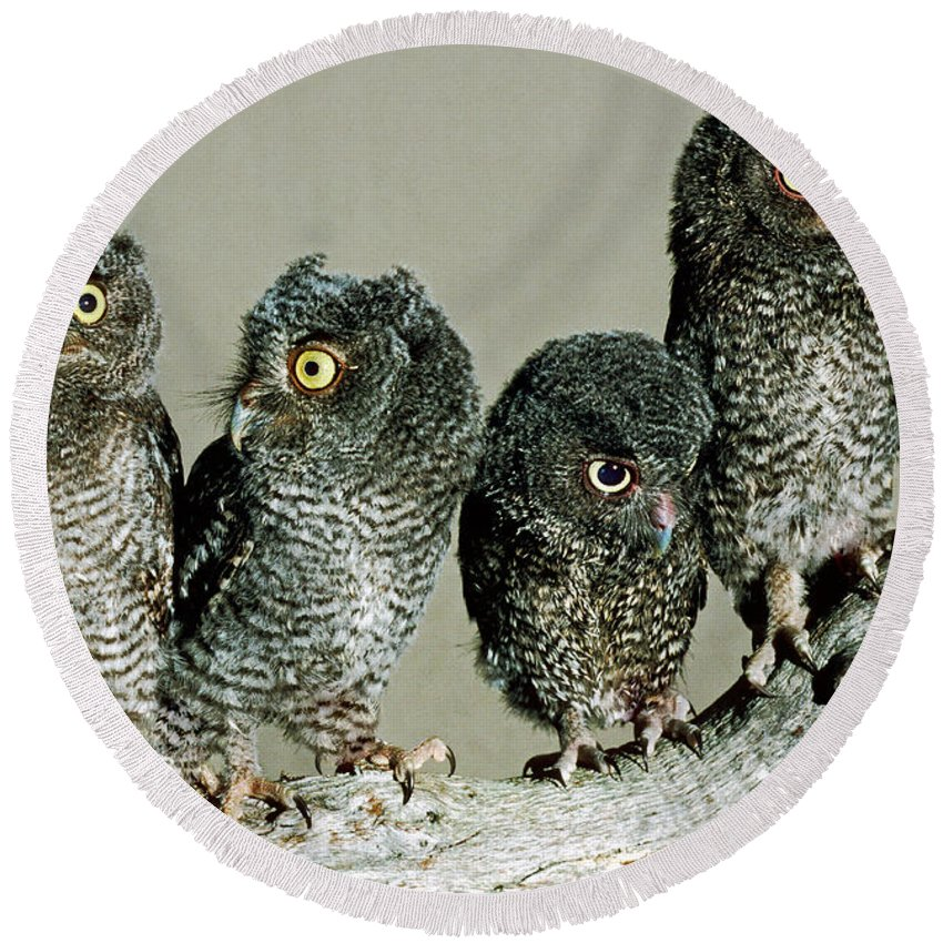 Screech Owl Round Beach Towel featuring the photograph Screech Owl Chicks by Millard H. Sharp