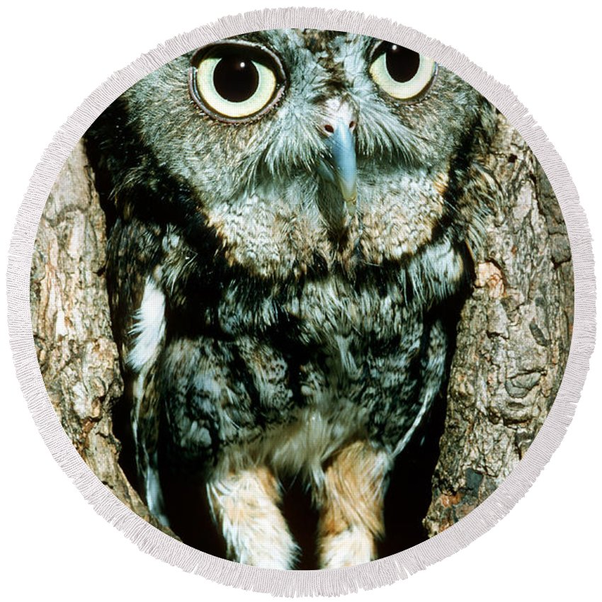 Screech Owl Round Beach Towel featuring the photograph Screech Owl by Millard H. Sharp