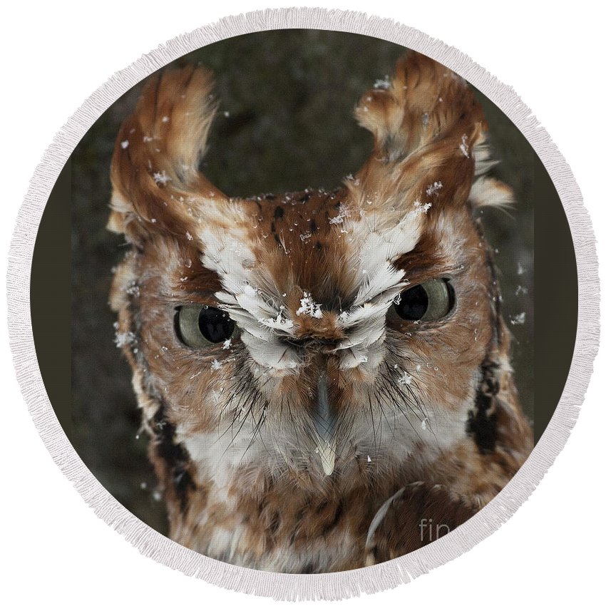 Screech Owl Round Beach Towel featuring the photograph Screech Owl Portrait by Emma England