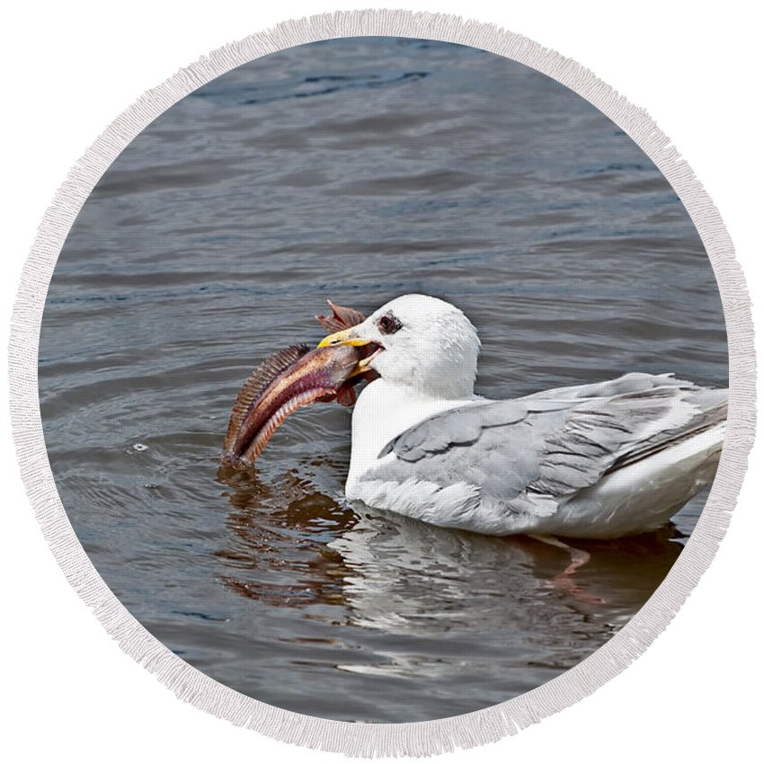 Seagull Round Beach Towel featuring the photograph Seagull Eating Huge Fish In Water Art Prints by Valerie Garner