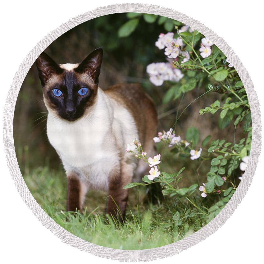 Cat Round Beach Towel featuring the photograph Seal Point Siamese Cat by John Daniels