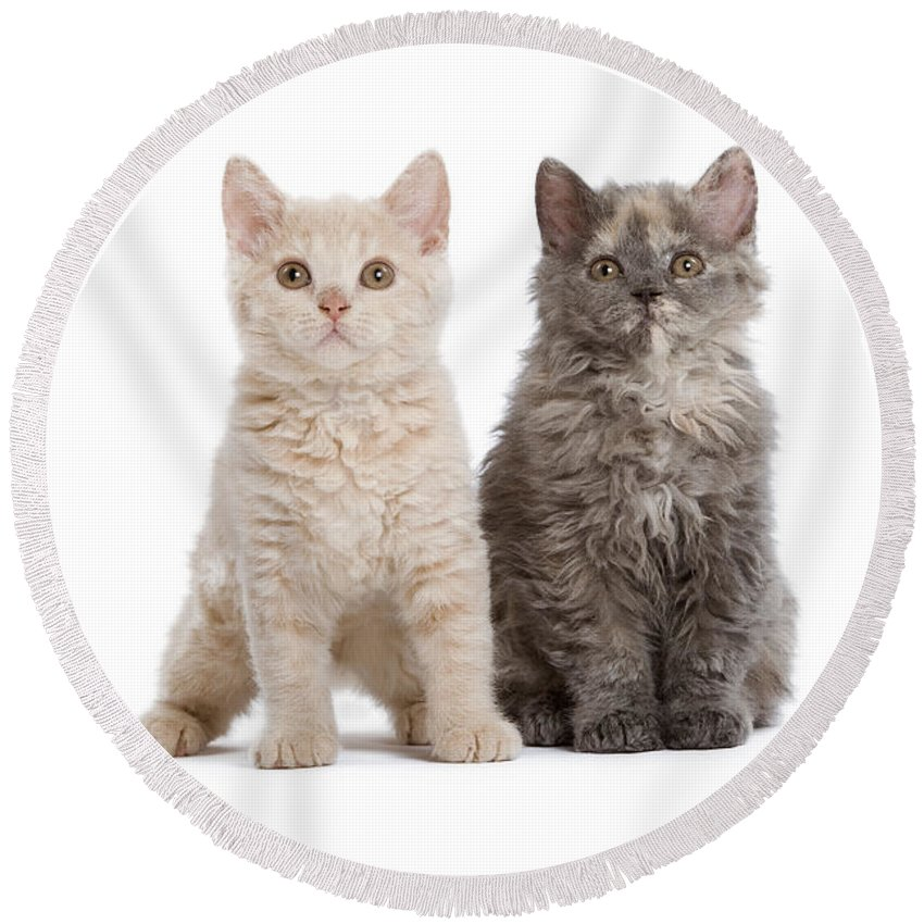 Cat Round Beach Towel featuring the photograph Selkirk Rex Kittens by Jean-Michel Labat