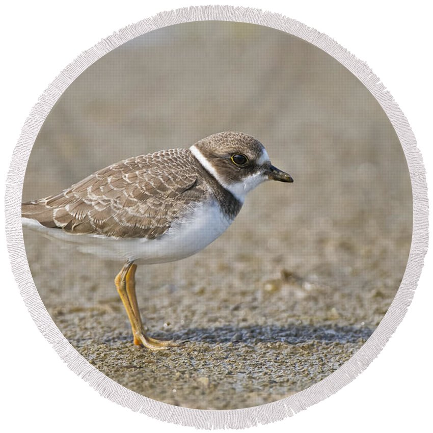 Semi-palmated Plover Round Beach Towel featuring the photograph Semi-palmated Plover Pictures 34 by World Wildlife Photography