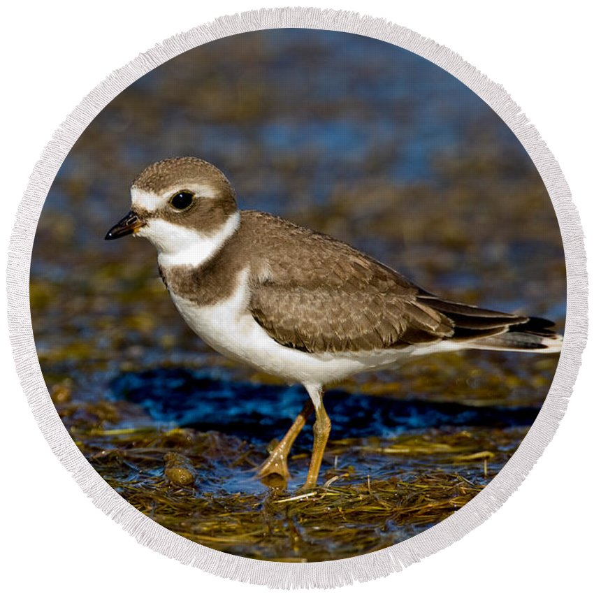 Bird Round Beach Towel featuring the photograph Semipalmated Plover by Anthony Mercieca