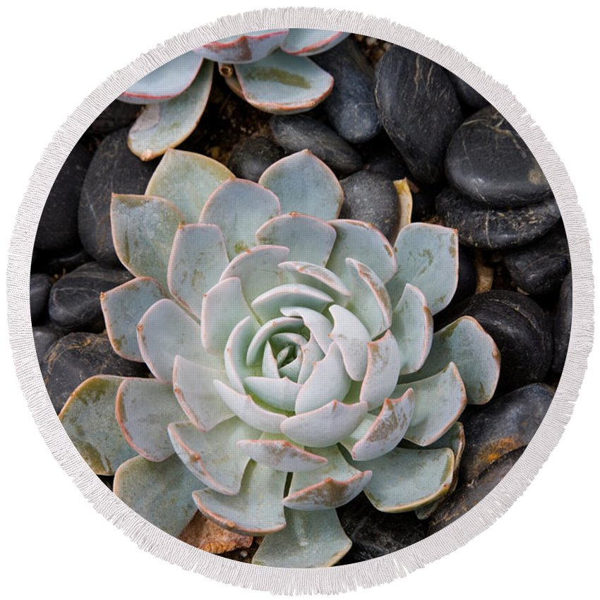 Pebble Round Beach Towel featuring the photograph Sempervivum by Diane Macdonald