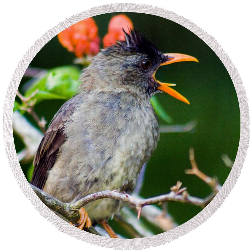 Nature Round Beach Towel featuring the photograph Seychelles Bulbul by Tim Holt