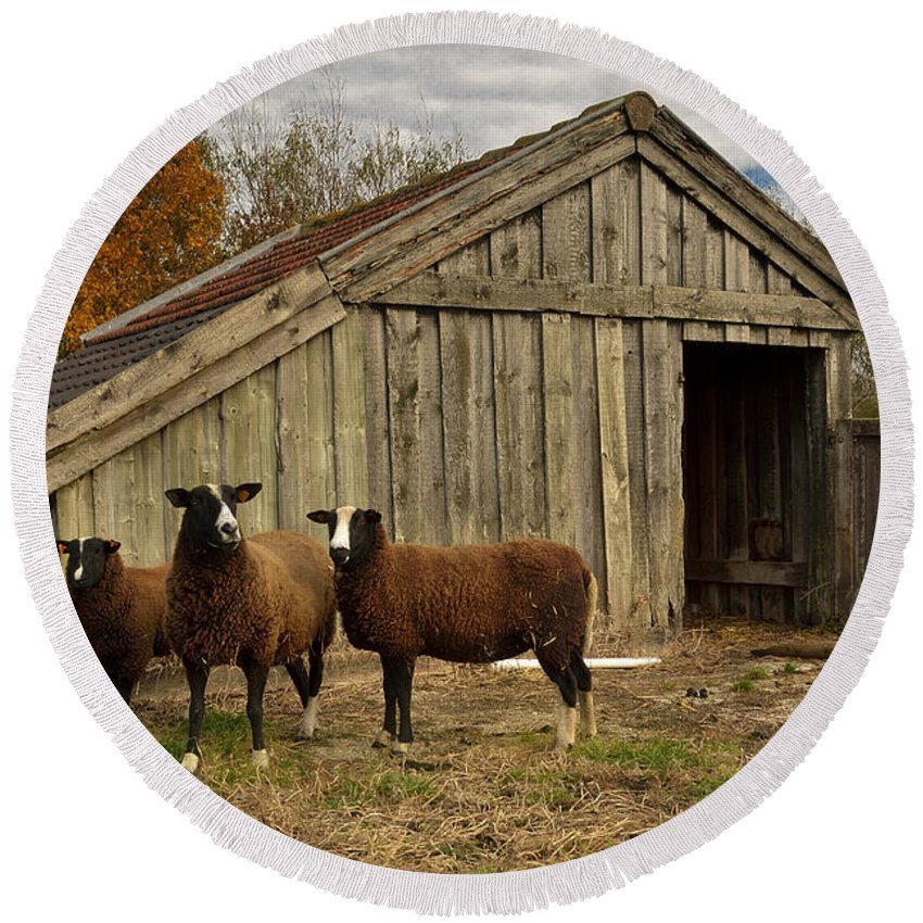 Agriculture Round Beach Towel featuring the photograph Sheeps by TouTouke A Y