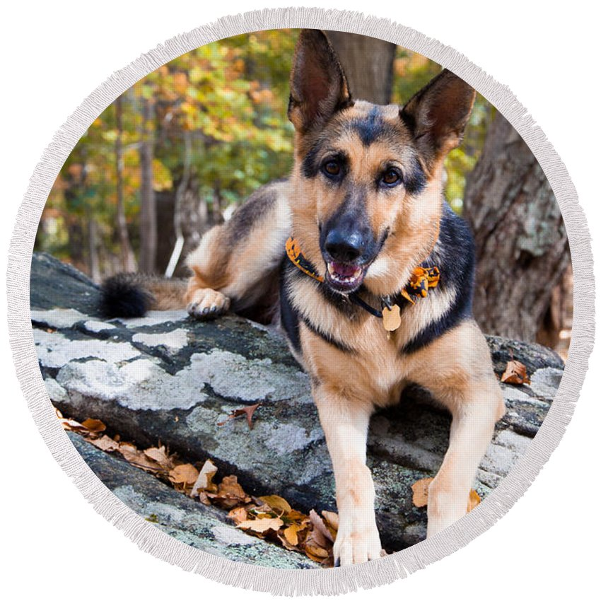 German Shepherd Round Beach Towel featuring the photograph Shepherd In The Fall by Eleanor Abramson