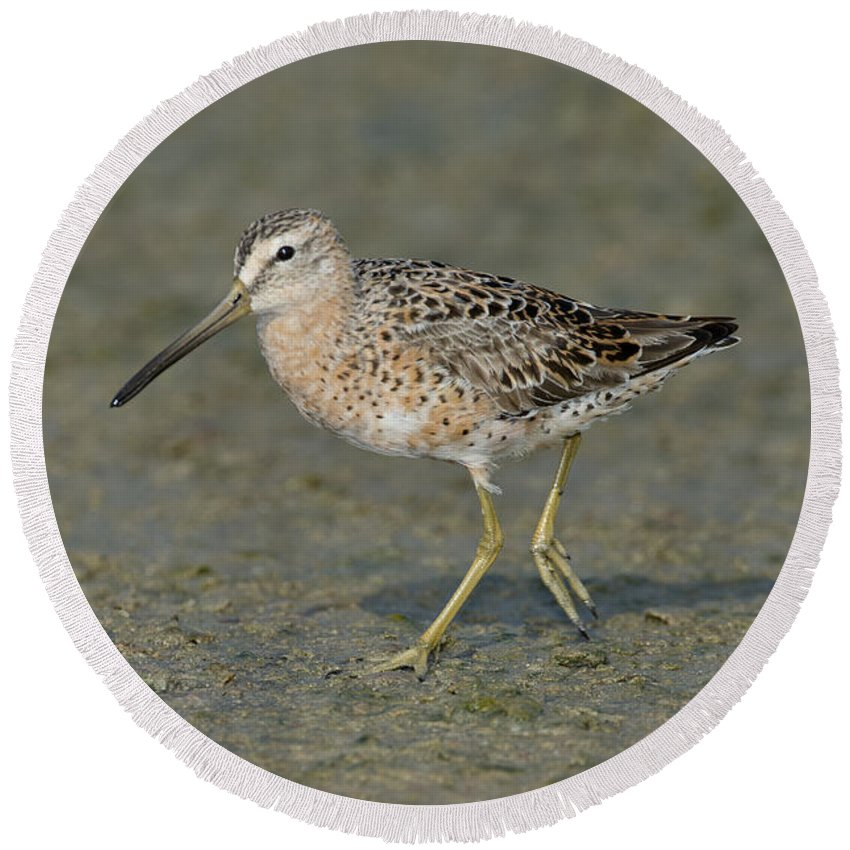 Short-billed Dowitcher Round Beach Towel featuring the photograph Short-billed Dowitcher by Anthony Mercieca